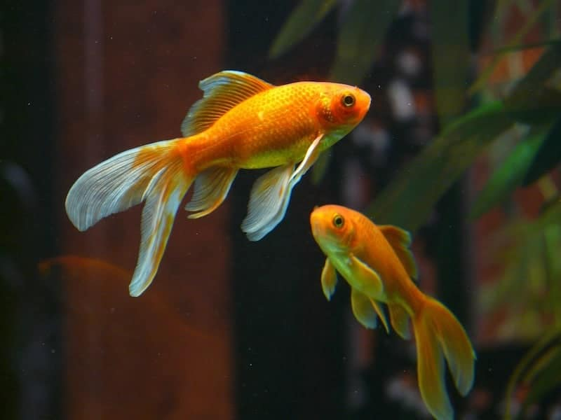Have You Thought About the Emotional Wellbeing of Your Pet Fish?
